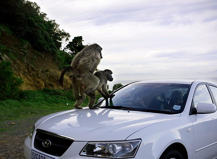 baboonsex.jpg