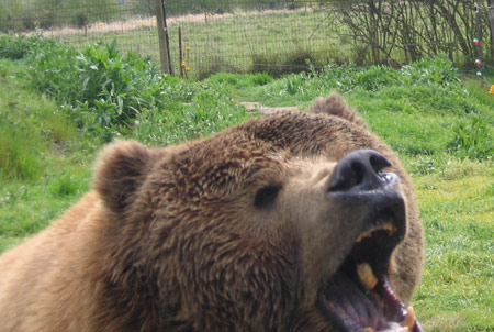 bear-with-bread-in-mouth.jpg