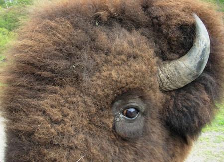 buffalo-eye.jpg