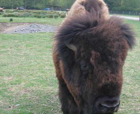buffalo-head.jpg