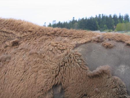 buffalo-side.jpg