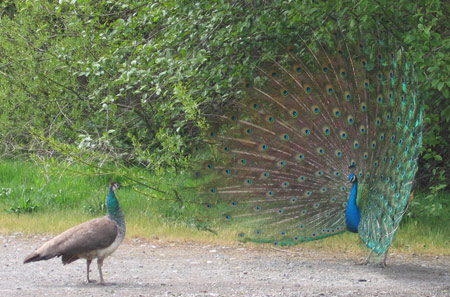 peacocks.jpg