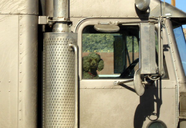 poodle_trucker.jpg