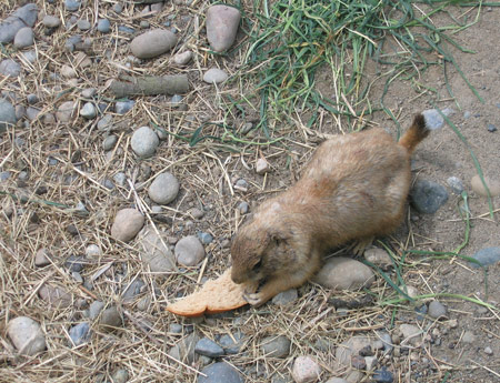 prairie-dog-eating-bread.jpg