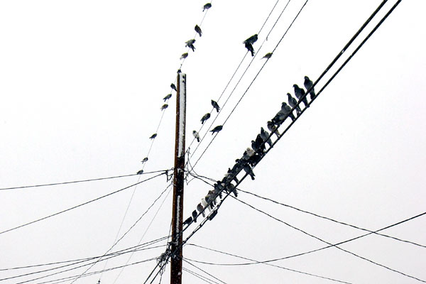 wirebirds.jpg