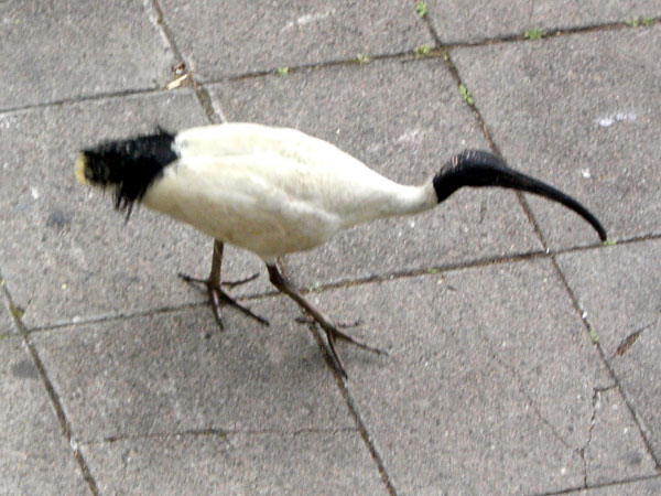 ibis.jpg