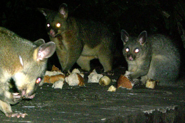 possums.jpg