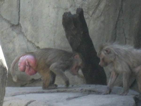 baboon1.jpg