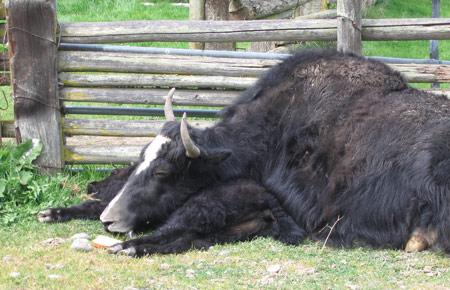 yak-and-baby-sleep.jpg