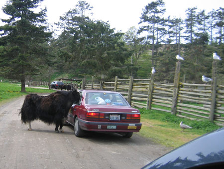 yak-and-car.jpg