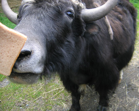 yak-nose-bread.jpg