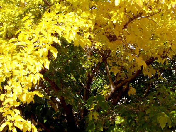 ylw_leaves.jpg